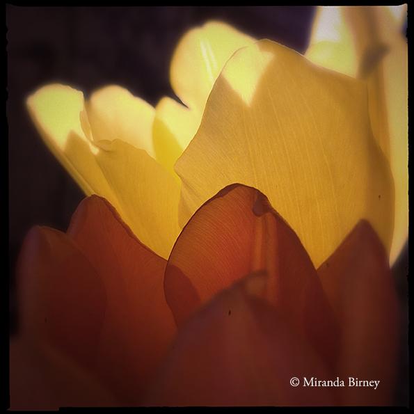 tuliptwins
