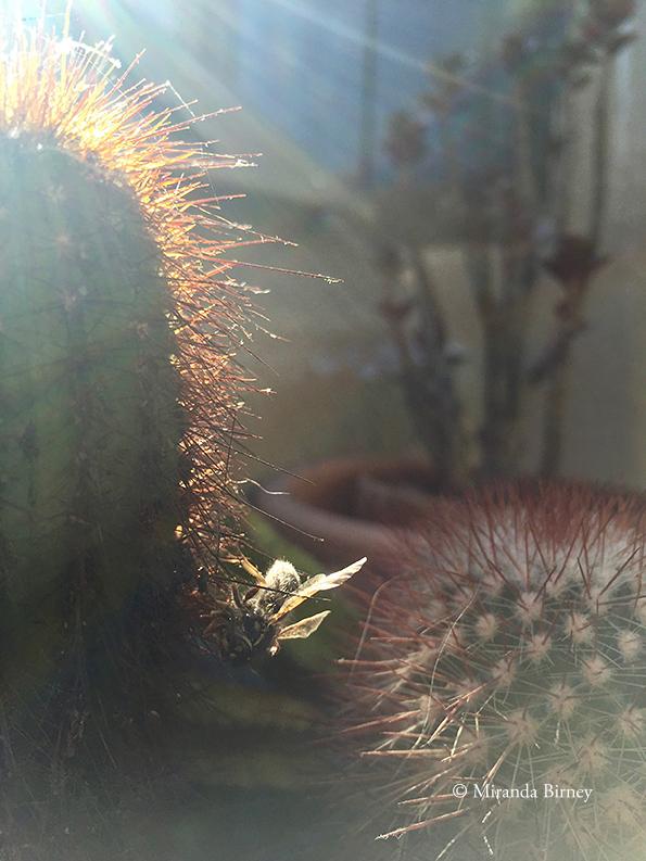 cactusbij